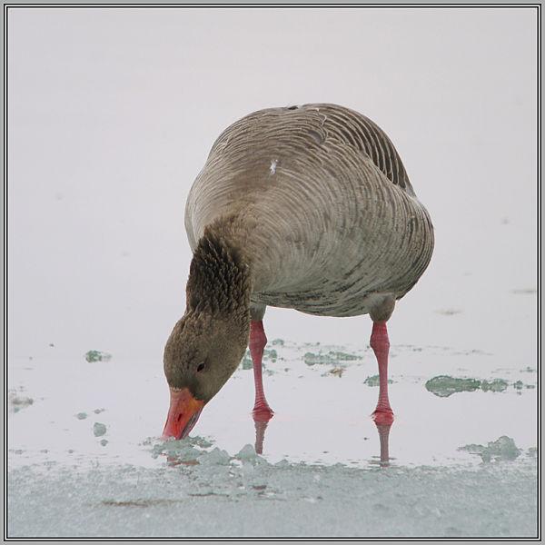 Greylag Goose   2/2 (Anser anser)