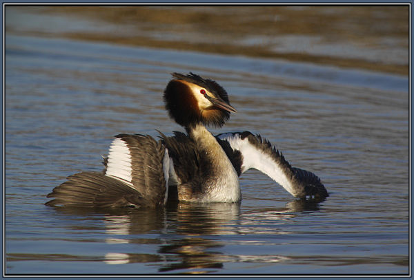 Great Crested Grebe   1/2