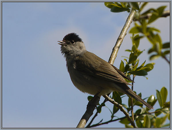 Blackcap - Male   Sylvia atricapilla