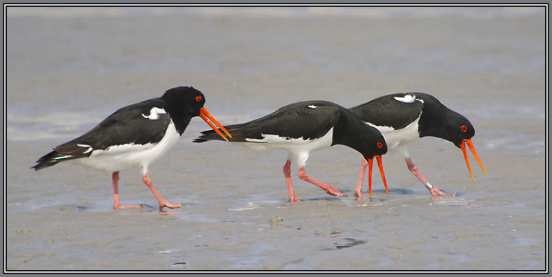 Oystercatcher on the Iland Helgoland   2/5
