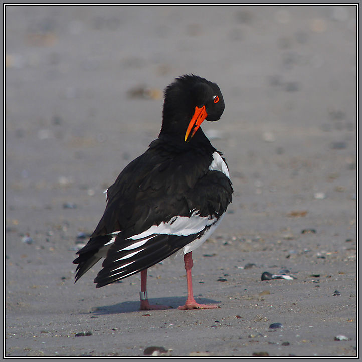 Oystercatcher on the Iland Helgoland   5/5