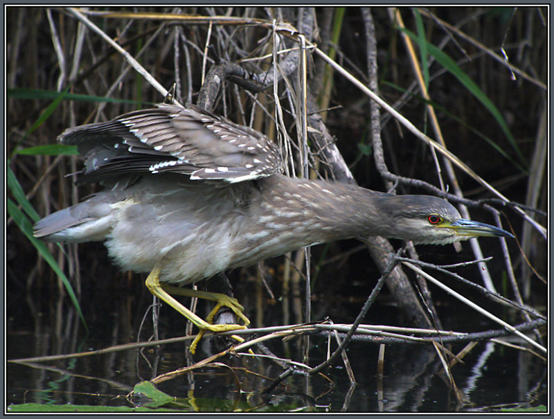 Black-crowned Night Heron  3/3