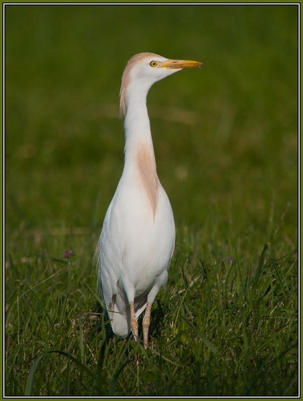 Cattle Egret   (Bubulcus ibis) 1/2