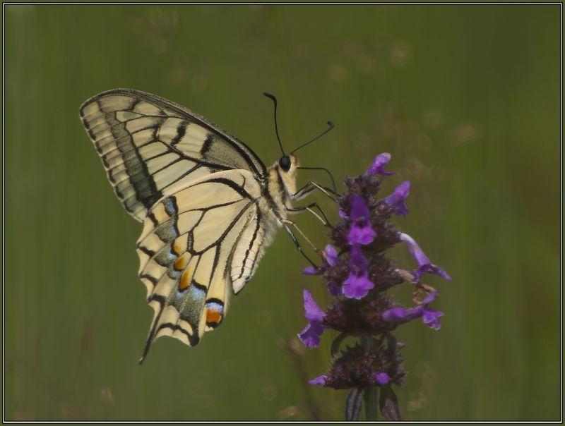 Schwalbenschwanz - (Papilio machaon)