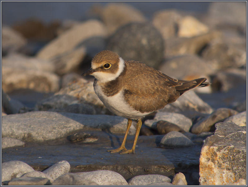 Little Ringed Plover 2 (Charadrius dubius)