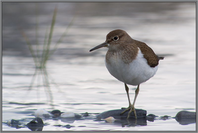 Common Sandpiper  1/2