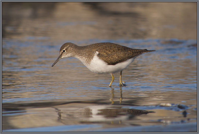 Common Sandpiper  2/2