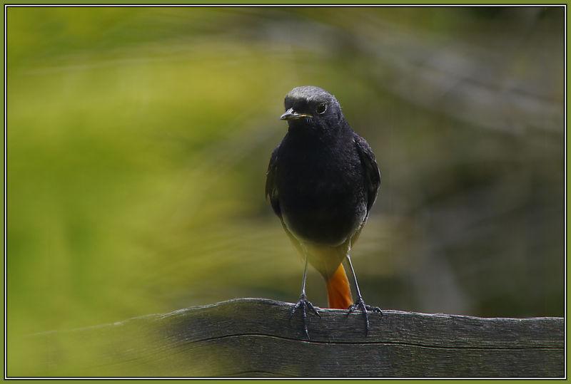 Black Redstart - Male      Phoenicurus ochruros