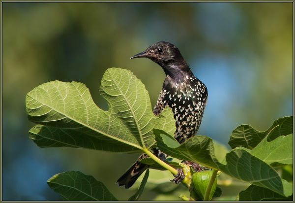 Common Starling  -  (Sturnus vulgaris)  1/2