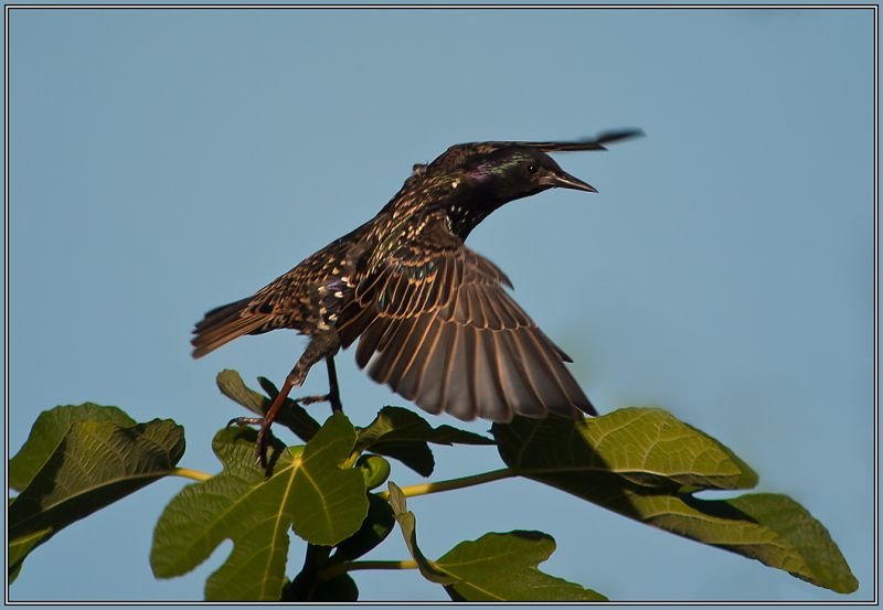 Common Starling  -  (Sturnus vulgaris)  2/2