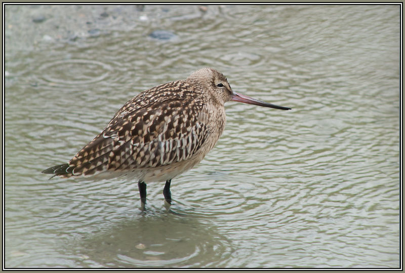 joung Bar-tailed Godwit in the rain