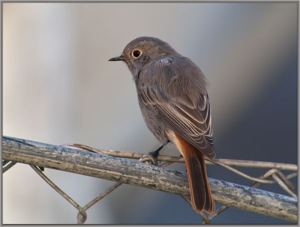 Black Redstart - Female      (Phoenicurus ochruros