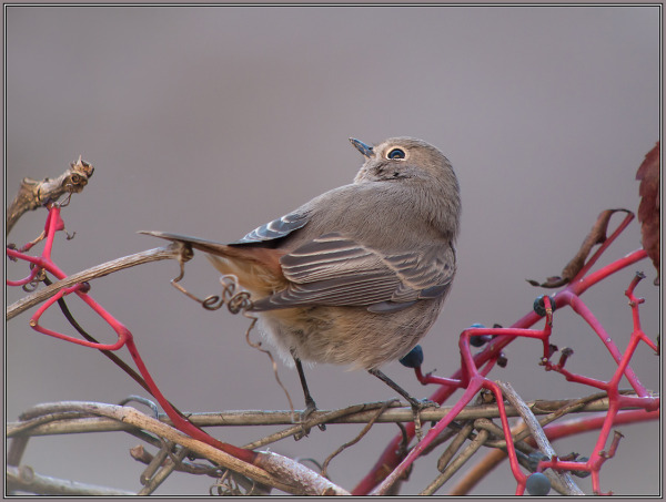 Black Redstart - Female      Phoenicurus ochruros