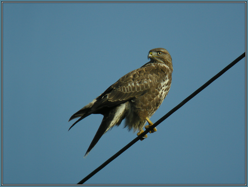 Common Buzzard   ( Buteo buteo )