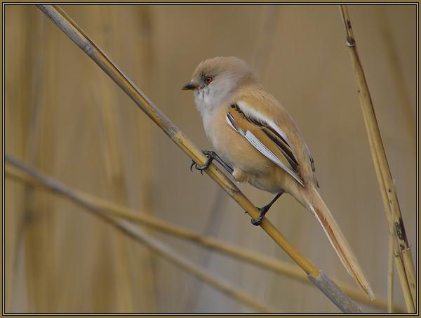 Baerded Reedling  -  Female