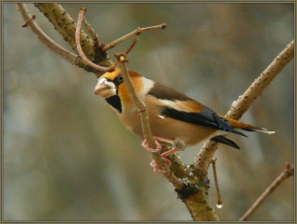 Hawfinch / Male - Coccothraustes coccothraustes
