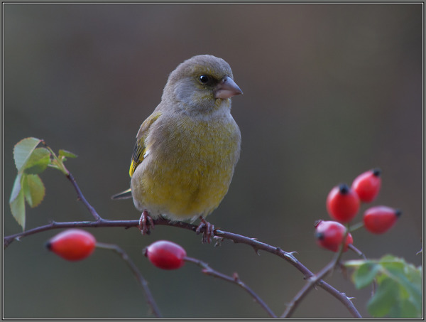 Greenfinch - Male          Carduelis chloris