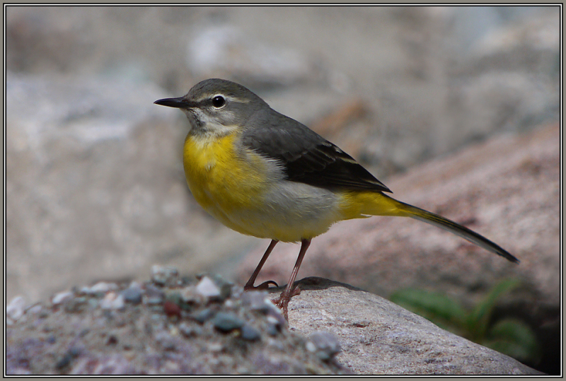 Grey Wagtail - Female       ( Motacilla cinerea )