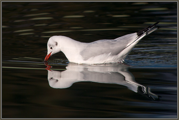 Black-headed-Gull    (Chroicocephalus ridibundus)