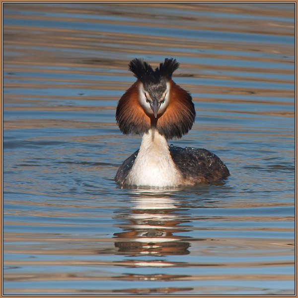 Great Crested Grebe   2/2  (Podiceps cristatus)