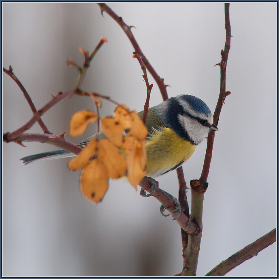 Blue Tit   (Parus caeruleus) 2/2
