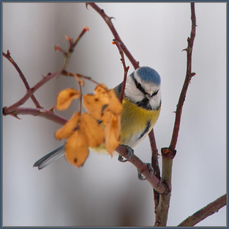 Blue Tit   (Parus caeruleus)   1/2