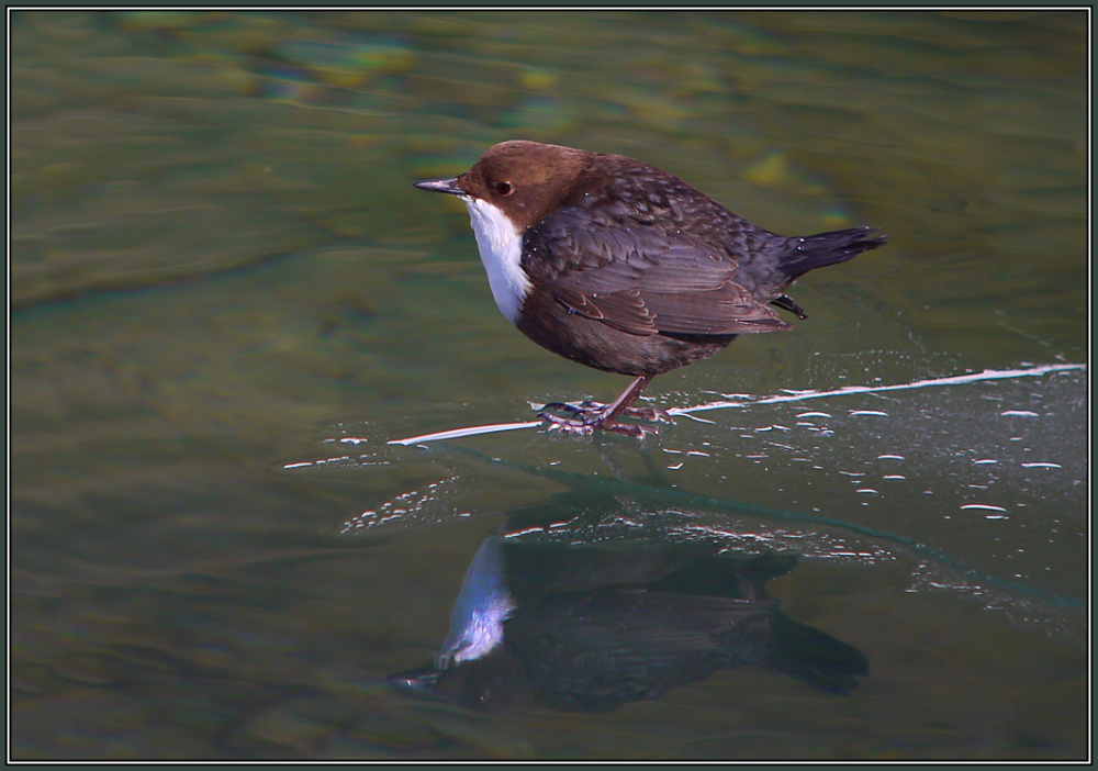 Dipper on ice      ( Cinclus cinclus )