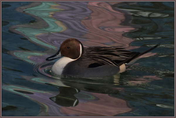 Northern Pintail - Male  2/2