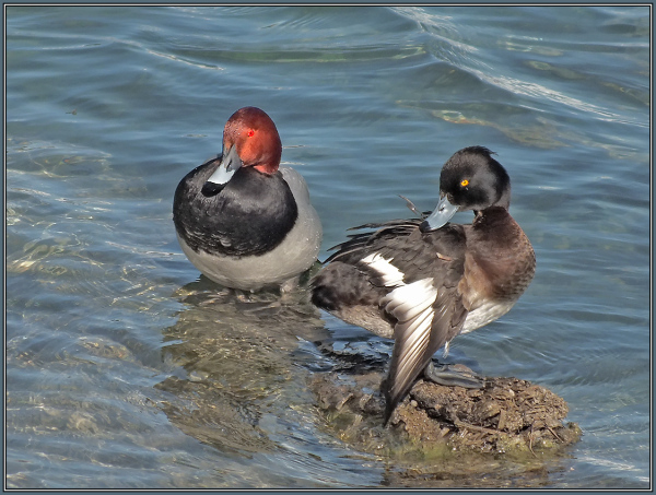 Common Pochard  & Tufted Duck - Male