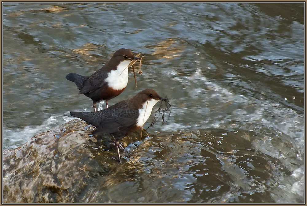 A pair of Dippers     ( Cinclus cinclus )