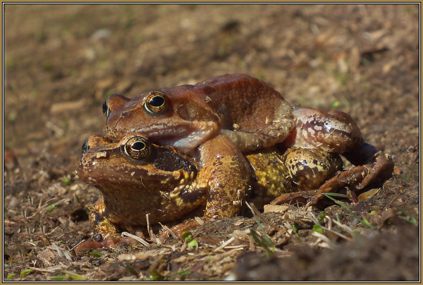 Grassfrog   5/5   (Rana temporaria)