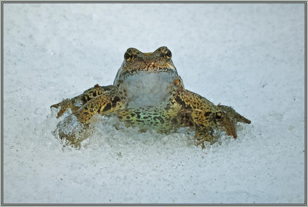 Grassfrog    4/5   (Rana temporaria)
