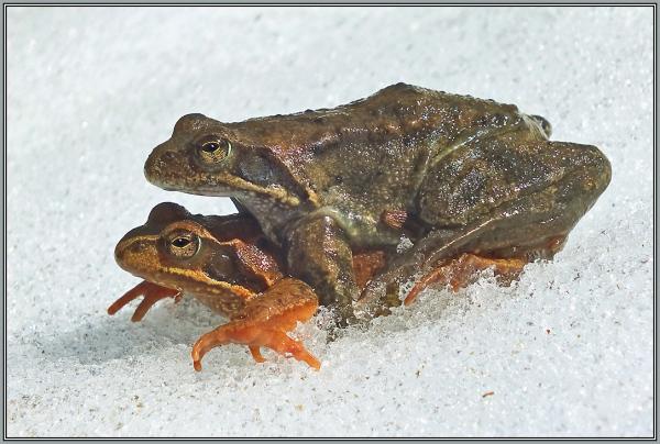 Grassfrogs    2/5  (Rana temporaria)