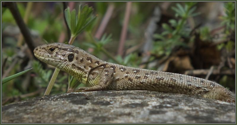 Sand Lizard - Female    1/2    Lacerta agilis