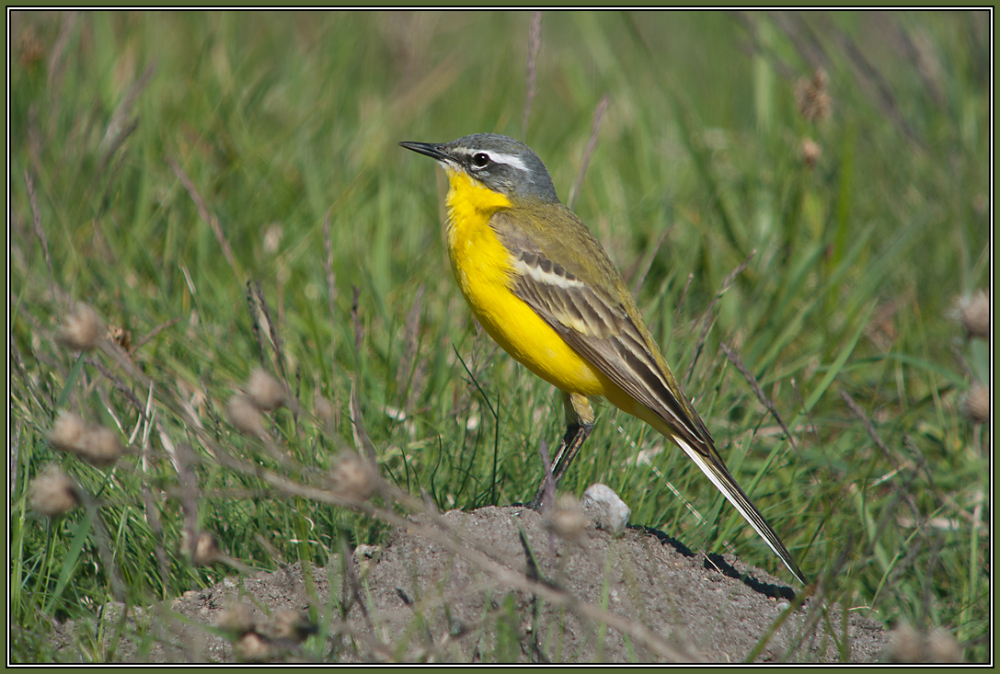 Western Yellow Wagtail  (Motacilla flawa)