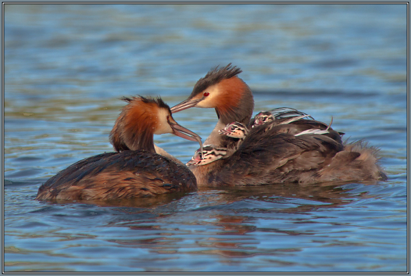 Great Crested Grebe  3/4