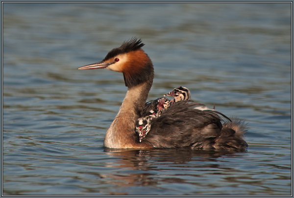 Great Crested Grebe  4/4