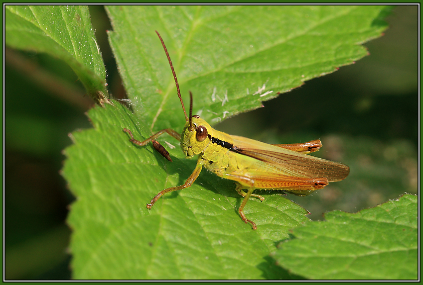 Leek Grasshopper