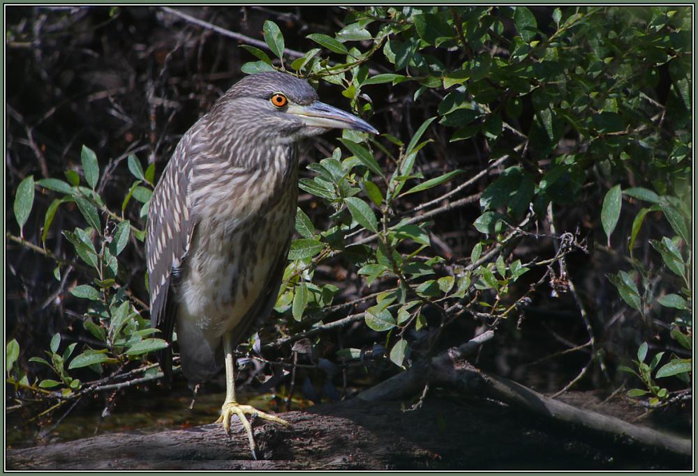 Black-crowned Night Heron - juvenile 2