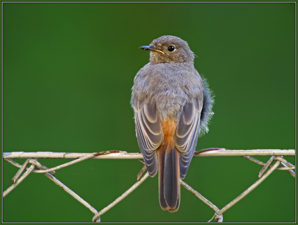 Black Redstart (Phoenicurus ochruros) juvenil