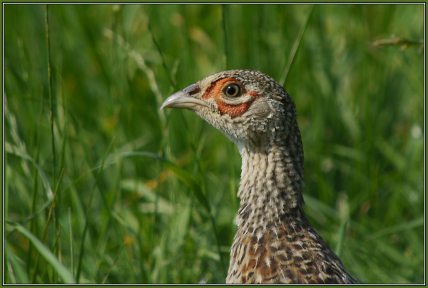 a young Pheasant (Phasianus colchicus)