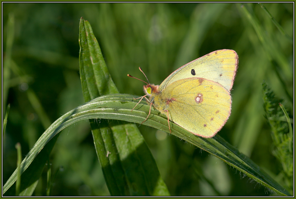 Pale Clouded Yellow (Colias hyale)