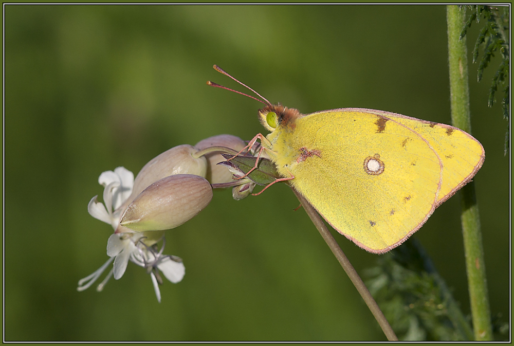 Pale Clouded Yellow  2 (Colias hyale)