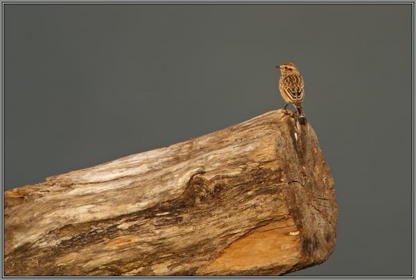 Whinchar  (Saxicola rubetra)