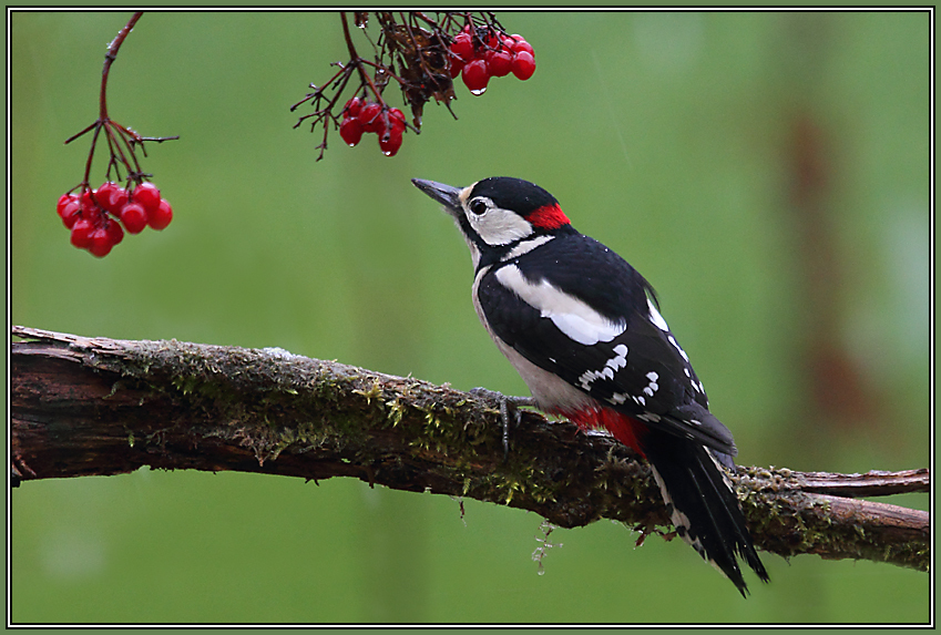 Great Spotted Woodpecker  (Dendrocopus major)