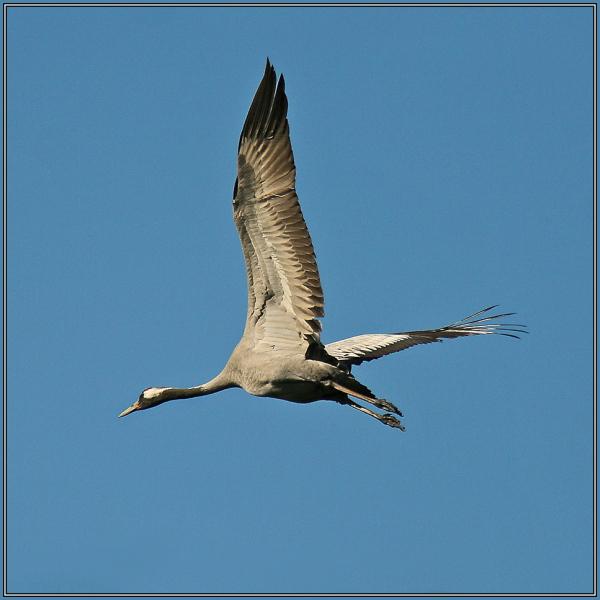 Crane    (Grus grus)