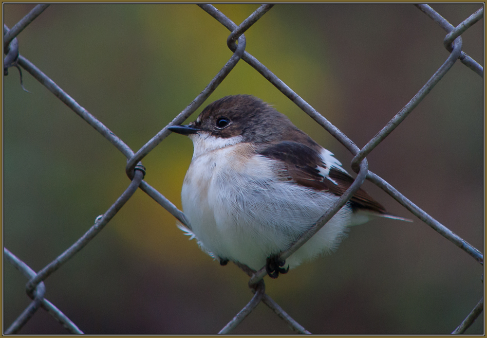 Pied Flycatcher  Male  (Ficedula hypoleuca)