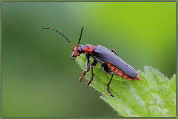(Cantharis fusca)