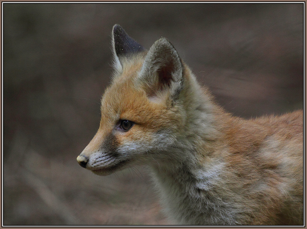 Young Red fox    3/5          (Vulpes vulpes)