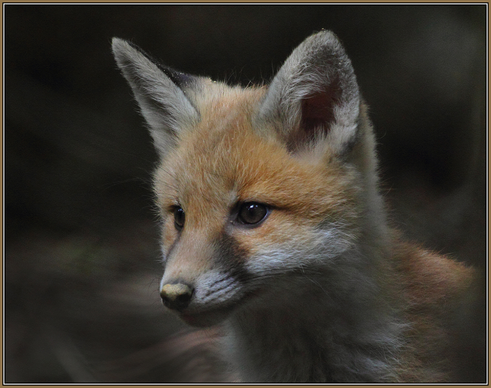 Young Red Fox   4/5         (Vulpes vulpes)